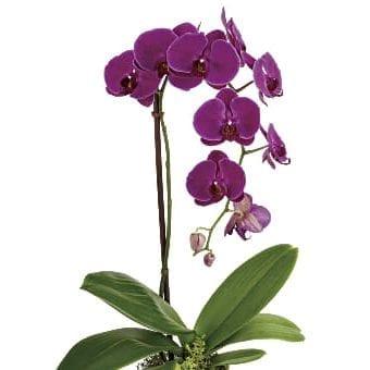 Orchid e1586009698525